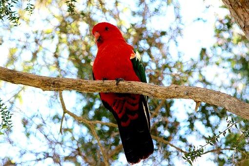 King, Parrot, Alisterus, Scapularis, Specimen, Outback