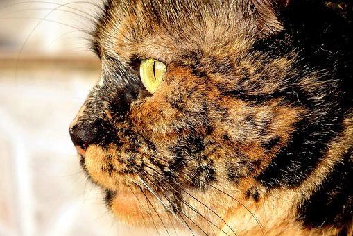 Cat, Animal, Skins, Pet, Feline, Mammal, Female, Eyes