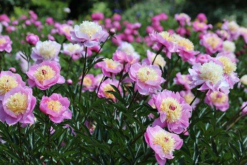 Peonies, Flowers, Bloom, Pink Flower, Plant, Summer