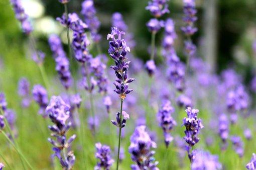 Lavender, Purple, Flowers, Plant, Nature, Fragrance