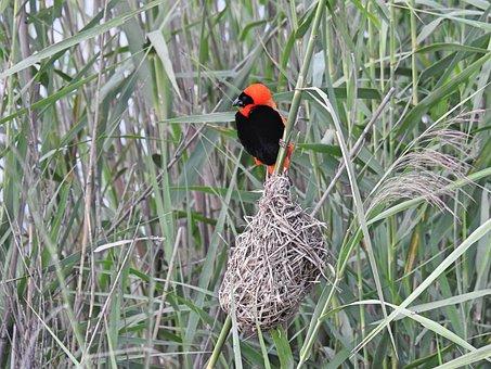 Red Bishop, Wildlife, Nature, Colorful, Bird, Plumage