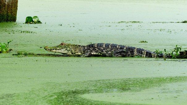 Bayou, Alligator, Louisiana, Marsh, Predator, Nature