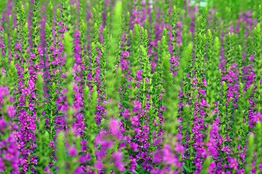 Lavender, Summer, Nature, Purple, Flowers, Violet