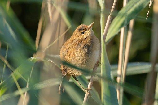 The Pond-tube-singer, Bird, Reed, Lake, Spring Lake