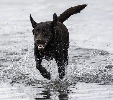 Dog, Running, Playing, Pet, Chocolate Lab