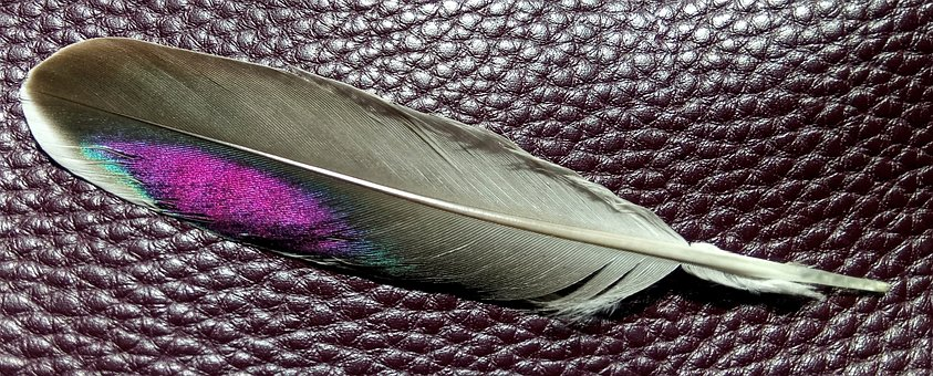 Feather, Crested Pigeon, Magenta, Sky Blue