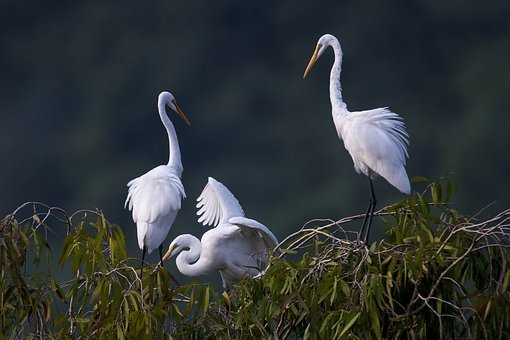 Stork, White Stork, Van Long Van Long Nature Reserve