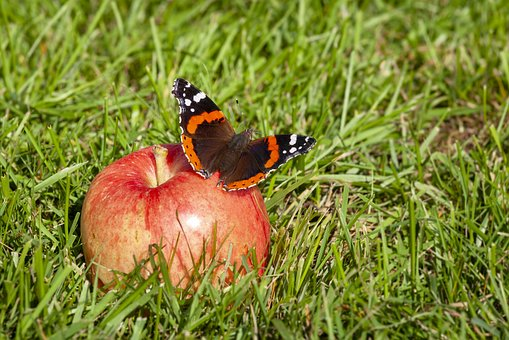 Butterfly, Summer, Nature, Insect, Wings, Garden, Apple
