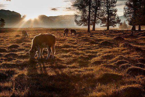 Altai, Cow, Contrived, Meadow, Landscape, Dawn, Sunset