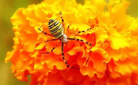 Tygrzyk Paskowany, Insect, Arachnids, Flower, Turkish