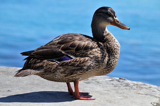Duck, Beach, Lake, Water, Bird, Wild, Nature