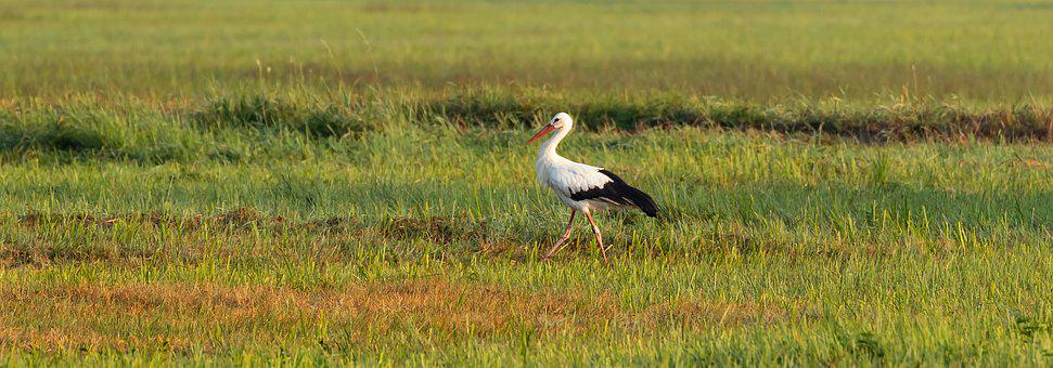 Stork, White Stork, Ried Reported, Spring Lake