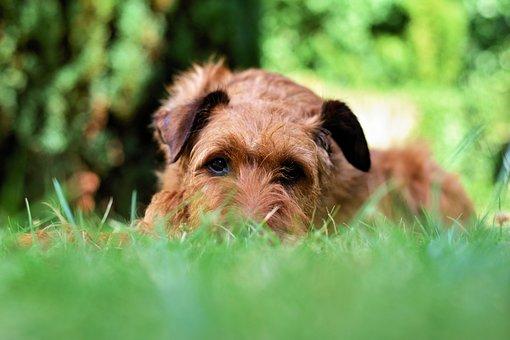 Dog, Irish Terrier, Garden, Meadow, Pet, Animal