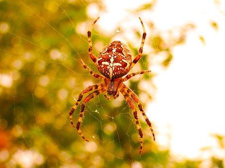 Crusader Garden, Female, Arachnid, Insect, Animals