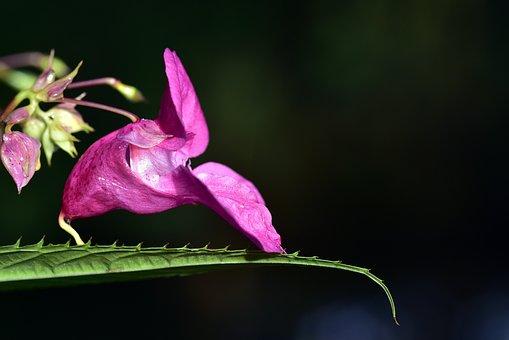 Indian Springkraut, Indian, Balsam, Blossom, Bloom