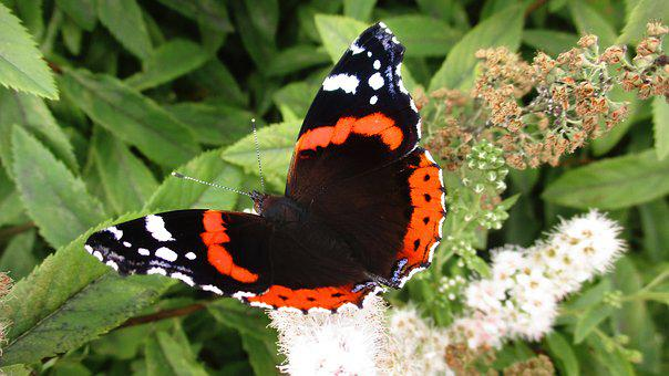 Butterfly, Atalanta, Admiral, Insects, Beautiful