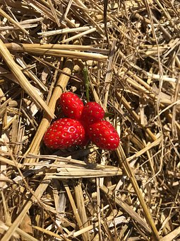 Berry, Strawberry, Red, Straw, Hay, Nature, Summer