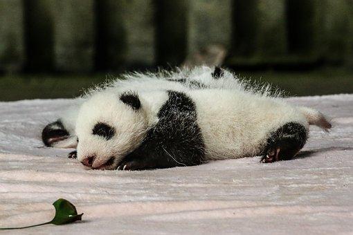 China, Chengdu, Panda, Baby Panda