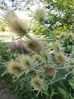 Thistle, Spikes, Garden, Decorative Flower, Green, Park