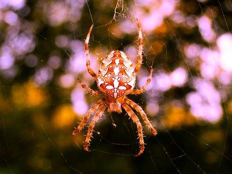 Crusader Garden, Female, Arachnids, Insect, Animals