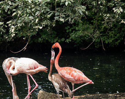 Flamingo, Bird, Young Animal, Animal, Animal World