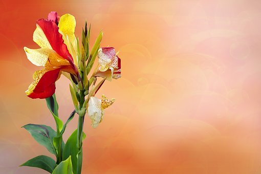 Flower, Blossom, Bloom, Canna, Exotic, Bloom, Petals