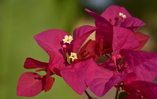 Bougainvillea, Flower, Blossom, Bloom, Pink, Tender