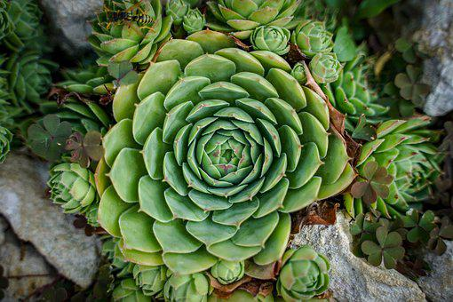 Stone Flower, Flower, Cactus, Plant, Green, Stone Crop