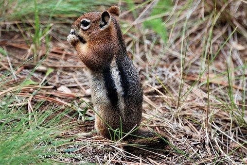 Ground Squirrel, Nature, Animal, Wild, Small, Fur