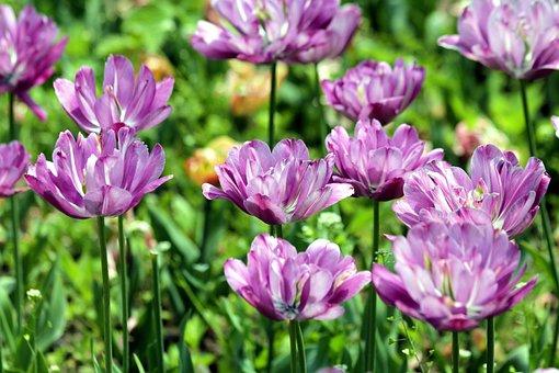 Tulips, Flowers, Spring, Nature, Bloom, Garden, Park