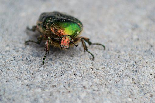Beetle, Colorful, Insect, Nature, Macro, Green, Hell