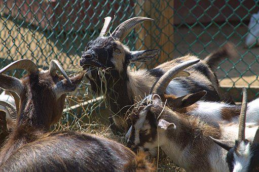 Goat, Goats, Eating, Eat, Hay, Nature, Livestock, Horns