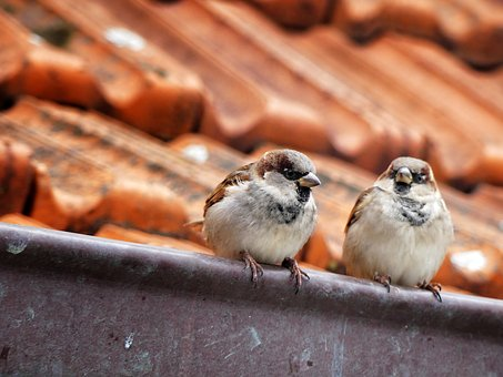 Sparrow, Bird, House, Roof, Nature, Animal, Sperling