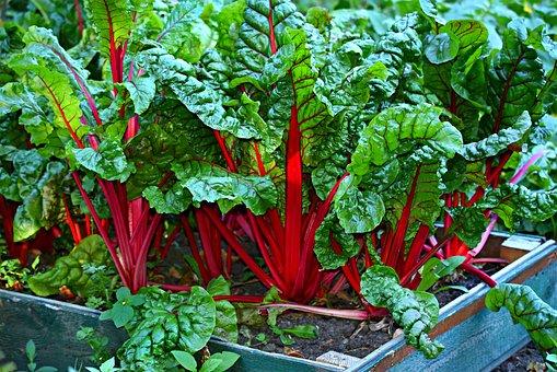 Swiss Chard, Vegetable, Kitchen Garden, Organic, Fresh
