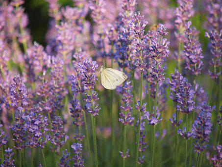 Butterfly, Lavender, Flower, Insects, Nectar