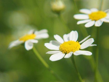 Flowers, Blossom, Bloom, Magarite, Petals, Botany