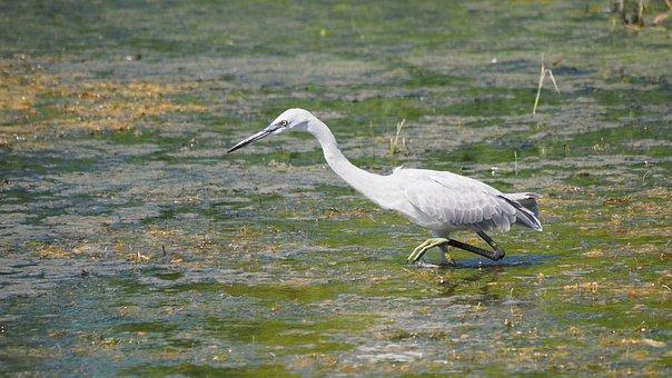 Nature, Birds, Egret, Young, Little Egret, Pond