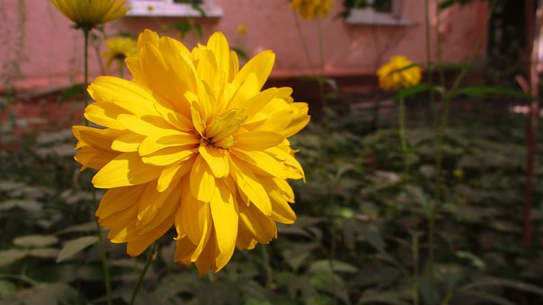 Flower, Chrysanthemum, Astra, Nature, Garden, Park