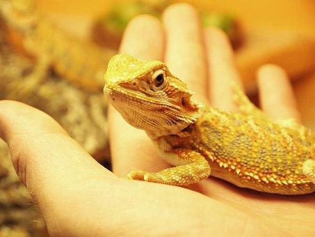 Reptile, Bearded Dragon, Lizard, Animal, Reptiles