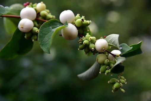 Ordinary Schneebeere, Snowberry Albus, Snow Berry