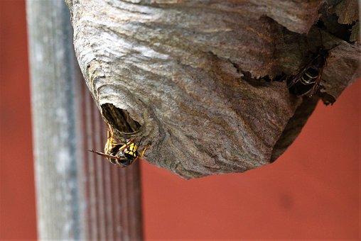 Long Head Wasp, Medium-sized Wasp, Wasp, Sting