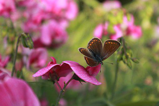 Butterfly, Vetches, Flowers, Summer, Flora, Nature