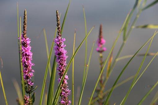 Red Fox Speedwell, Veronica Spicata, Lake, Water, Grass