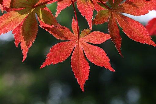 Autumn Leaves, Autumn, Nature, Maple, Leaf, Wood