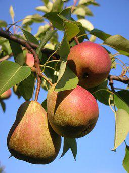 Pear, Harvest, Mature, Fresh, Sweet, A Delicious, Tree