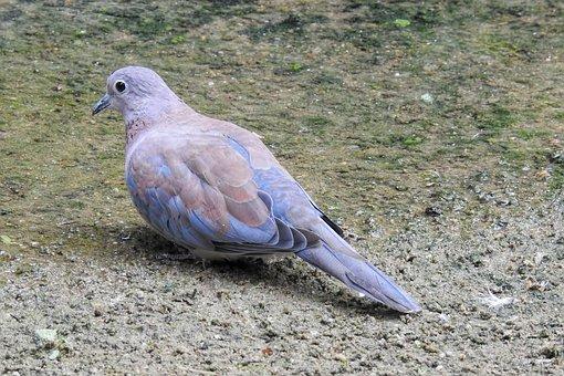 Dove, Bird, Animal
