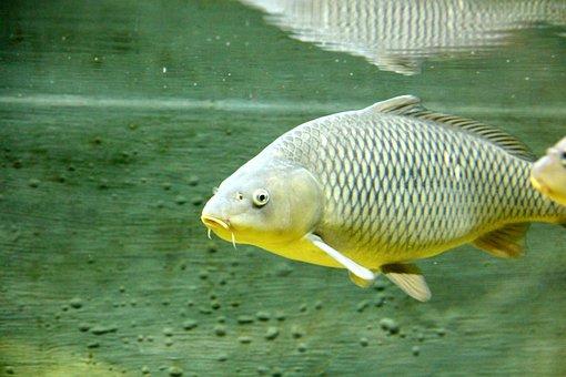 Carp, Fish, Underwater, Animal, River Fish