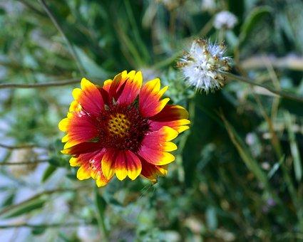 Montana Blanket Flower, Gaillardia, Asteraceae