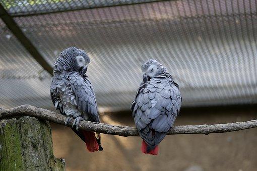 Parrot, Couple, Birds, Grey, Animal World, Bird Couple