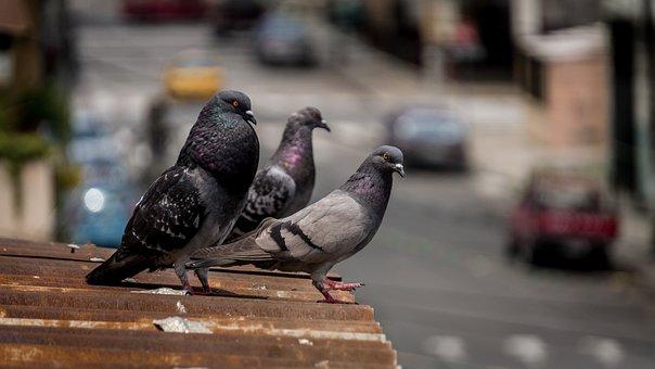 Photo, Dove, Animal, Bird, Wing, Plumage, City, Nature